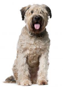Bouvier De Flandersdog