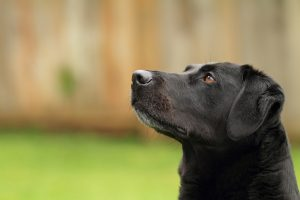 Black Labrador in a backyard with a fence