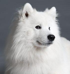 white Samoyeddog